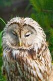 Macro di Tawny Owl Immagini Stock Libere da Diritti