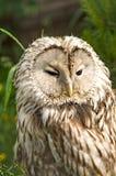 Macro di Tawny Owl Fotografia Stock