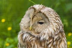 Macro di Tawny Owl Fotografie Stock