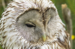 Macro di Tawny Owl Fotografia Stock Libera da Diritti