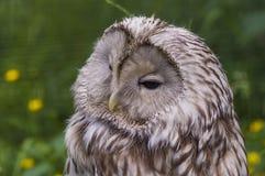 Macro di Tawny Owl Fotografie Stock Libere da Diritti
