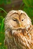 Macro di Tawny Owl Immagine Stock Libera da Diritti