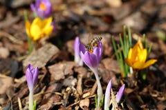 Macro di un'ape con le borse del polline su croco in primavera immagine stock
