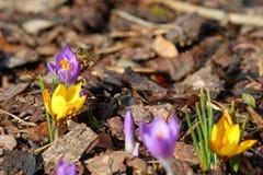 Macro di un'ape con le borse del polline su croco in primavera fotografia stock