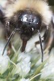 Macro di un'ape del miele immagine stock