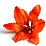 Macro di un fiore Fotografia Stock Libera da Diritti
