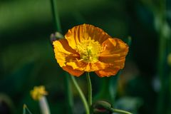 Macro di un fiore arancio su un fondo verde scuro fotografia stock