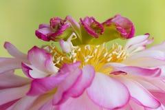 Macro di un fiore di loto Fotografia Stock