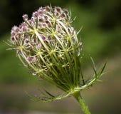 Macro di un fiore selvaggio Immagini Stock Libere da Diritti