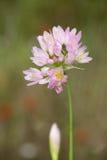 Macro di un fiore selvaggio: Allium roseum Immagini Stock