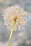 Macro di un fiore selvaggio: Coppoleri dell'allium Immagine Stock