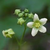 Macro di un fiore selvaggio: Dioica di Bryonia Fotografie Stock Libere da Diritti