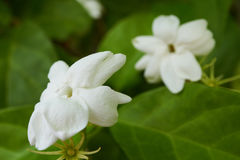 Macro di un gelsomino bianco, un bello fiore Immagine Stock