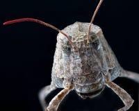 Macro di un insetto: Caerulans di Sphingonotus Fotografia Stock