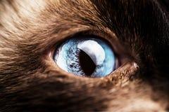 Macro di un occhio di gatto blu Fotografie Stock Libere da Diritti