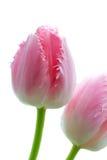 Macro di un tulipano operato guarnito degli arricciamenti Fotografia Stock