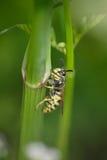 Macro di un waspe Fotografia Stock