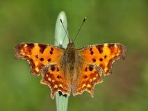 Macro di una C-farfalla isolata immagine stock libera da diritti