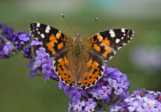 Macro di una farfalla Immagini Stock Libere da Diritti