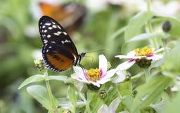 Macro di una farfalla marrone ed arancio che si siede sui fiori gialli Immagini Stock