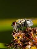 Macro di una mosca Immagini Stock