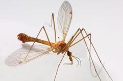 Macro di una mosca di gru Immagine Stock Libera da Diritti