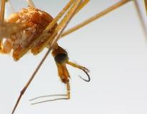 Macro di una mosca di gru Fotografia Stock