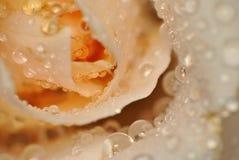 Macro di una Rosa Fotografia Stock Libera da Diritti