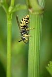 Macro di una vespa Fotografia Stock