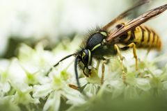 Macro di una vespa su un fiore immagini stock libere da diritti