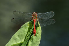 Macro di vista superiore di una libellula rossa Immagini Stock Libere da Diritti