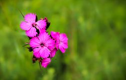 Macro of Dianthus pink wild flowers stock photography