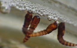 Macro dichte die omhooggaand van Muglarve in een waterton wordt gevonden in de tuin, foto in het Verenigd Koninkrijk wordt genome royalty-vrije stock fotografie