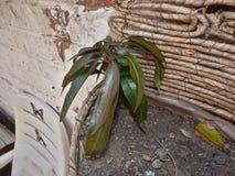 Macro dichte omhooggaand van een mangoboom die geplant/in het Verenigd Koninkrijk groeien royalty-vrije stock afbeelding