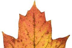 Macro dichte omhooggaand van het boomblad backlight Stock Foto