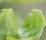 Macro dichte omhooggaand van zeer kleine spin in een spiderweb Royalty-vrije Stock Afbeelding