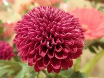 Macro die van een rode bloem wordt geschoten Stock Foto