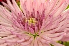 Macro die van roze bloembloemblaadjes wordt geschoten Stock Afbeeldingen
