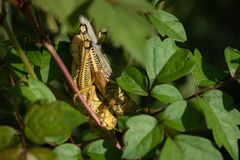 Macro Differentiële Sprinkhanen Copulating op Sunny Day royalty-vrije stock foto's