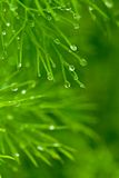 Macro of dill Stock Photography