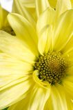 Macro disk mum yellow. Macro of yellow mum chrysanthemum with disk flower and petals showing center disk area with layered petals overlapping each other royalty free stock photo