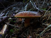 Macro do boleto na floresta de República Checa Imagens de Stock