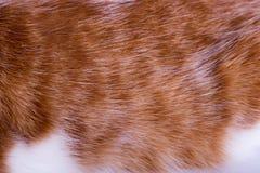 Macro do cabelo do ` s do gato do gengibre imagens de stock royalty free