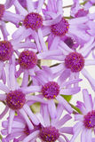 Macro do Cineraria Foto de Stock
