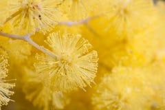 Macro do close up do Wattle dourado Foto de Stock Royalty Free
