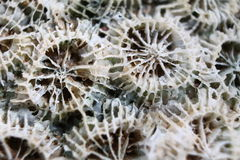 Macro do coral do Mar Morto Fotografia de Stock