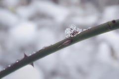 Macro do cristal de gelo em um arbusto cor-de-rosa espinhoso fotografia de stock