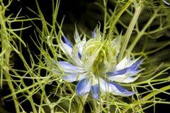 Macro do damascena de Nigella (amor-em-um-névoa, senhora áspera ou diabo no arbusto) Imagens de Stock Royalty Free
