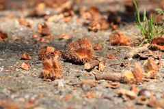 Macro do fruto da faia de Brown no outono no assoalho imagem de stock