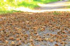 Macro do fruto da faia de Brown no outono no assoalho imagem de stock royalty free